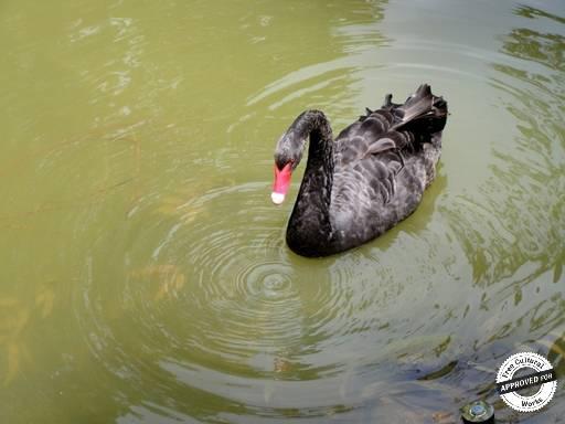 ДЕНДРАРИЙ. Черный лебедь на верхнем озере