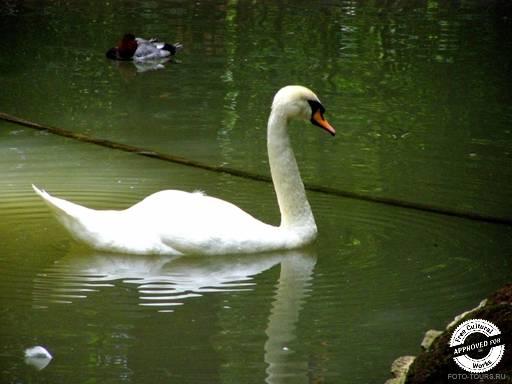 ДЕНДРАРИЙ. Белый лебедь на нижнем озере