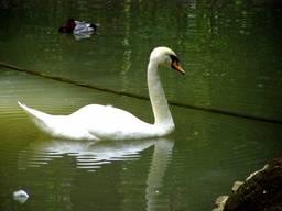 Белый лебедь на нижнем озере