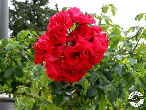Цветы в Сочи. Роза красная