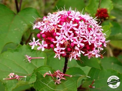 Цветы в Сочи. Seablush (Plectritis congesta)