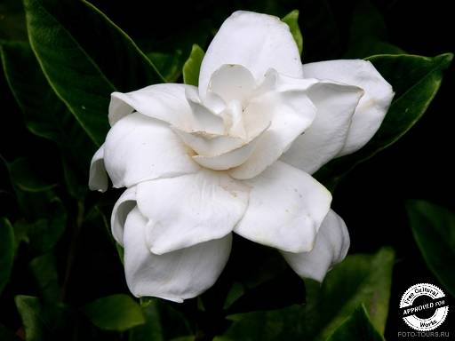 Цветы в Сочи. Гардения