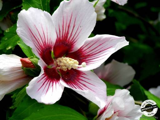 Цветы в Сочи. Гибискус сирийский  (Роза Шарона)