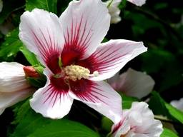 Гибискус сирийский  (Роза Шарона)