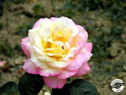 Цветы в Сочи. Роза