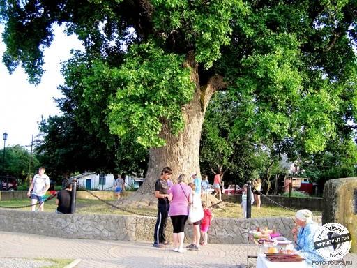 ТЮЛЬПАНОВОЕ ДЕРЕВО. Тюльпановое дерево