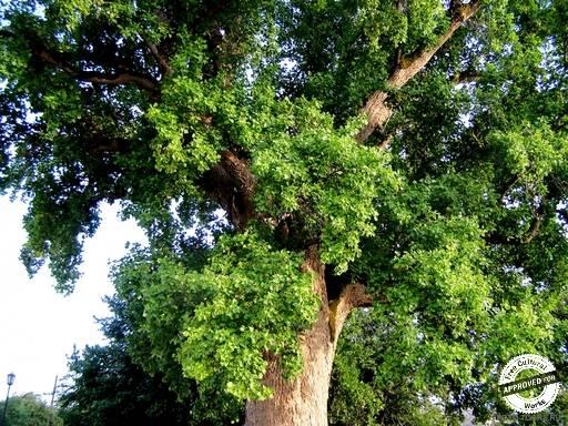 ТЮЛЬПАНОВОЕ ДЕРЕВО. Средняя часть кроны тюльпанового дерева