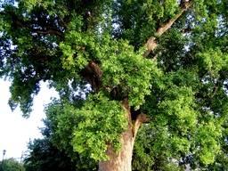 Средняя часть кроны тюльпанового дерева