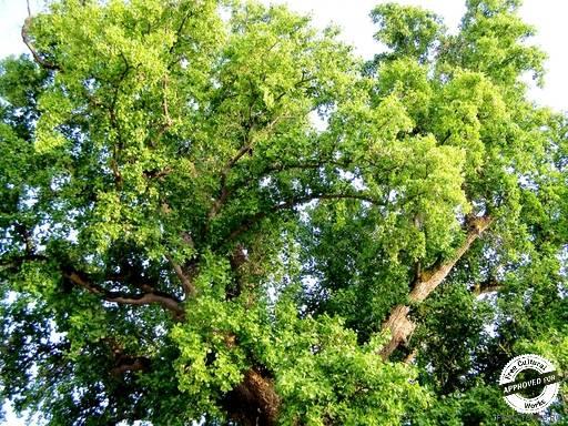 ТЮЛЬПАНОВОЕ ДЕРЕВО. Верхушка кроны тюльпанового дерева