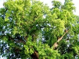 Верхушка кроны тюльпанового дерева