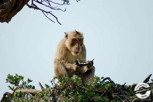 Остров обезьян - KOH PET.