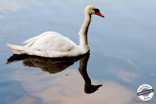 Царицынские пруды. Лебедь на зеркальной глади пруда