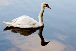 Лебедь на зеркальной глади пруда