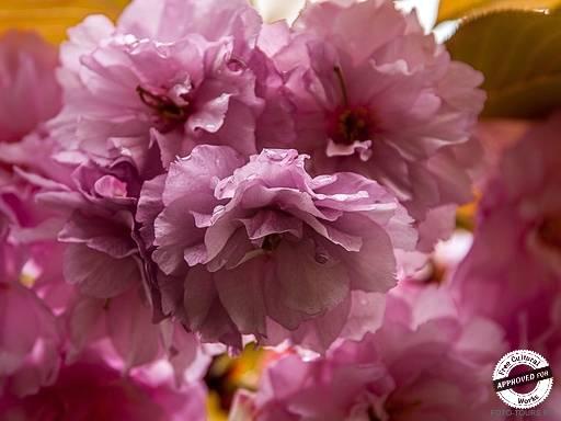ДЕНДРАРИЙ. Цветение сакуры